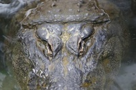 Close-up of American Alligator eyes