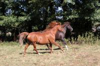 Arabian horse in a pasture