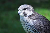 Peregrine Falcon Close Up