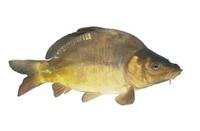 lively carp