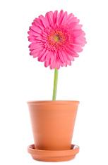 Pink Gerbera Daisy in a Terracotta Flower Pot