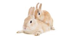 Mating rabbits