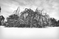 Strange tree after a heavy snow