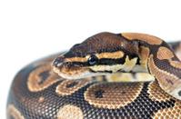 regius python