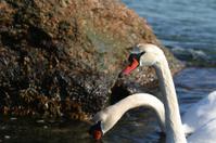 Nature: Swan