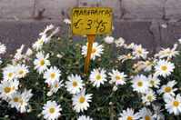 margherite flowers