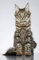 Maine Coon, sitting on a grey background. Studio shot