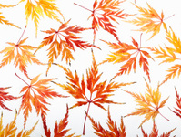 Japanese Maple leaves isolated