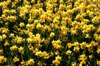 Billions of daffodils.