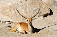 Gazelle Sitting down