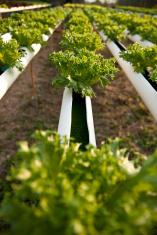 hydroponic plantation in a row