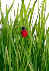 Lady bug on a grass leaf