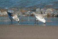 Two Sanderlings feeding in sand