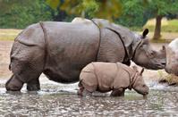 Mother and calf rhino