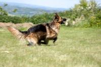 Alert alsatian dog running in grass