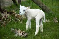 Baby lamb trying to walk