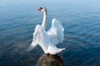 mute swan [ Cygnus olor ]