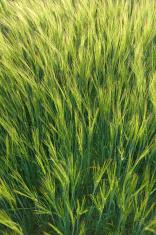Green rye