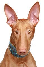 Pharaoh hound close-up portrait