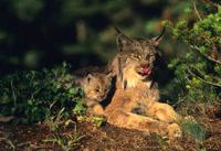 Female lynx and Kitten