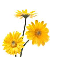 yellow gerbers flowers