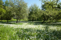 ramson, wild garlic [Alliumursinum]