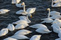 Swan in sea