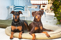 Sun Porch Dogs