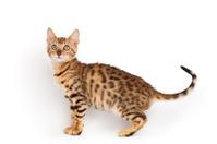 Domestic bengal kitten