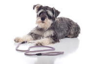 Miniature Schnauzer Pet Dog on White Background