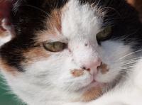 calico cat close-up