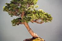 Angled Bonsai Tree