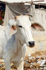 cow at Pushkar Camel Fair