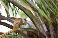 Squirrel monkey eating