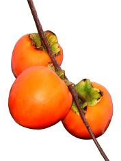 Persimmons ripening
