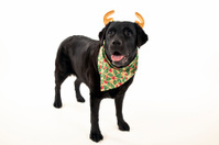 Black Labrador Retriever dressed for Christmas