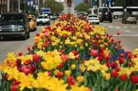 North Michigan Avenue Tulips in Chicago
