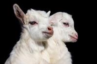 Kid goats
