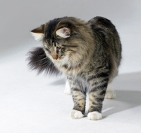 curious Norwegian Forest cat