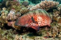 red sea rock cod