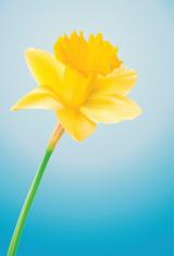 Daffodil - Vector Illustration