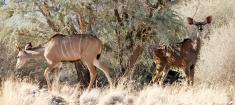 Kudu and Acacia, Namibia.