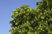Horse chestnut against clear blue sky