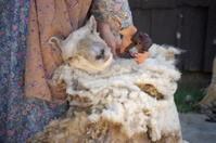 Shearing Sheep V