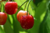 Cherries Time