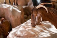 Goats in Wadi Rum, Jordan