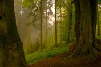 Misty woodland sunrise