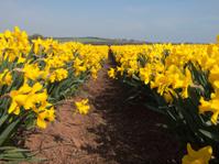 Daffodil rows in a field, Scotland