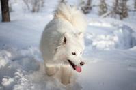 Samoyed in Lapland