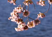 Cherry Blossom Trees by Tidal Basin